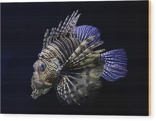 Majestic Lionfish Wood Print