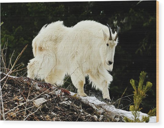 Majestic Mountain Goat Wood Print