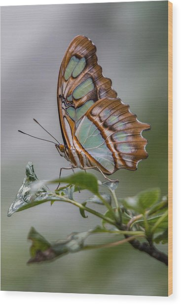 Malachite Butterfly Profile Wood Print