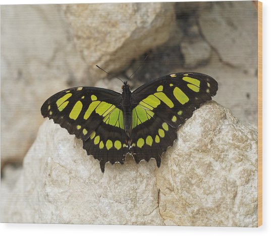 Wood Print featuring the photograph Malachite Butterfly - Siproeta Stelenes by Paul Gulliver