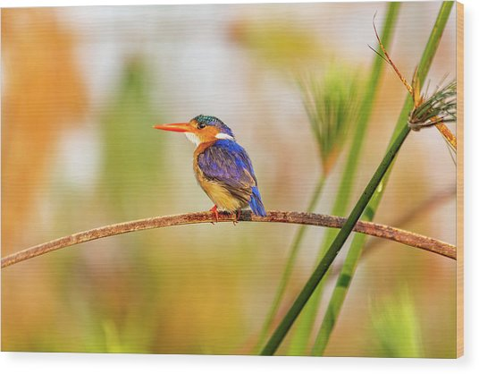 Malachite Kingfisher Hunting Wood Print