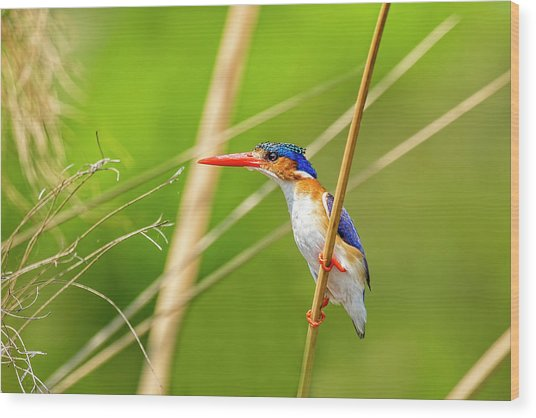 Malalchite Kingfisher Wood Print