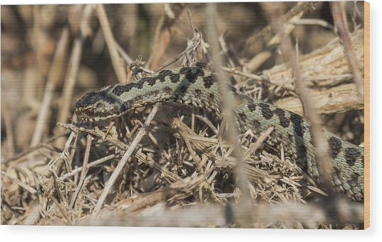 Male Adder Wood Print