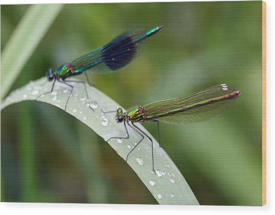 Male And Female Damsel Fly Wood Print by Pierre Leclerc Photography