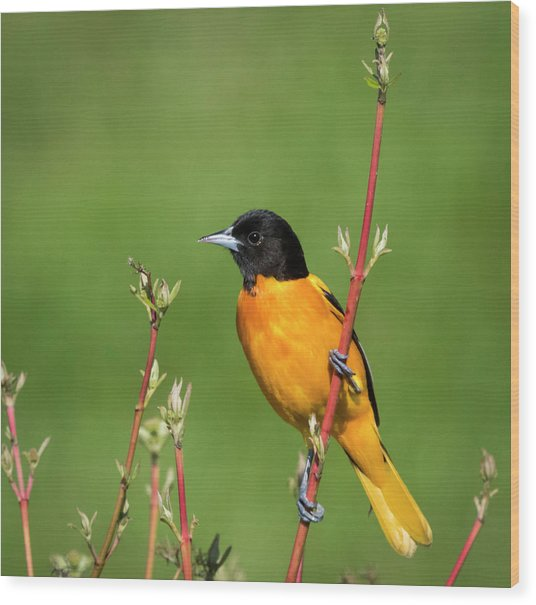 Male Baltimore Oriole Posing Wood Print