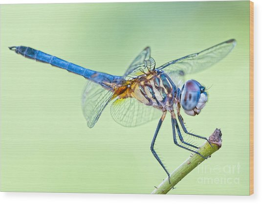 Male Blue Dasher Dragonfly Wood Print