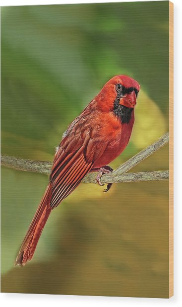 Male Cardinal Headshot  Wood Print