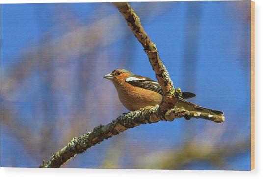 Male Common Chaffinch Bird, Fringilla Coelebs Wood Print