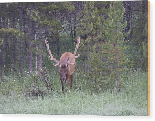 Bull Elk Rmnp Co Wood Print