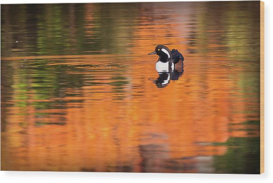 Male Hooded Merganser In Autumn Wood Print