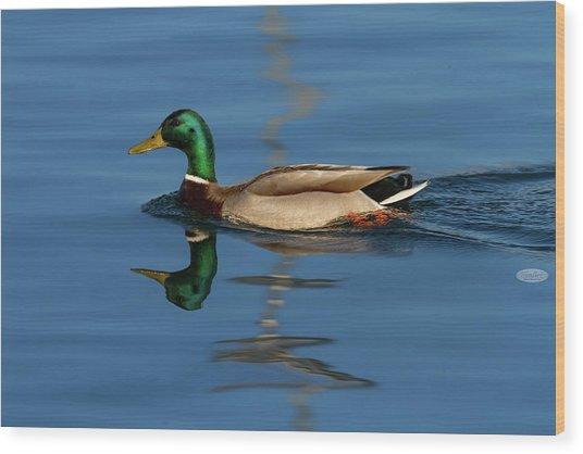 Male Mallard Or Wild Duck, Anas Platyrhynchos, Portrait Wood Print
