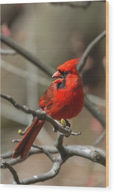 Male Northern Cardinal In Spring Wood Print
