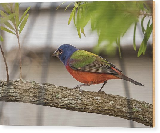 Male Painted Bunting Wood Print