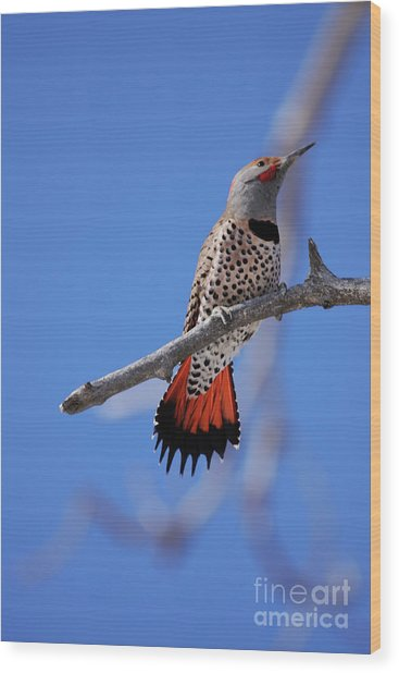 Male Red Shafted Northern Flicker Wood Print