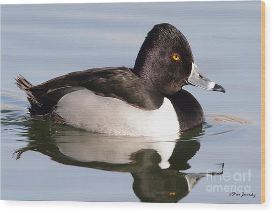 Male Ring Necked Duck Wood Print