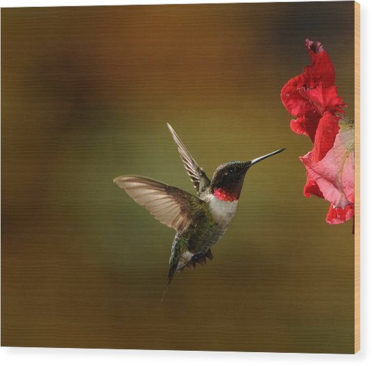 Male Ruby Throated Hummingbird Wood Print