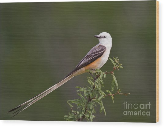 Male Scissor-tail Flycatcher Tyrannus Forficatus Wild Texas Wood Print