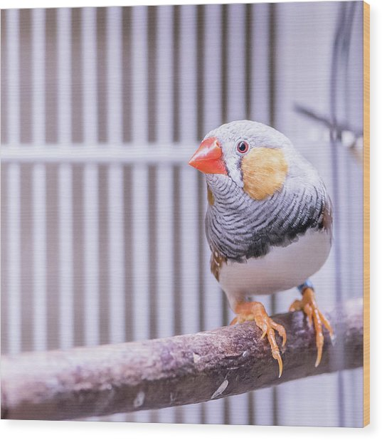 Male Zebra Finch Wood Print