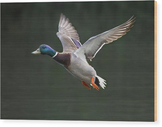 Mallard Drake In Flight Wood Print
