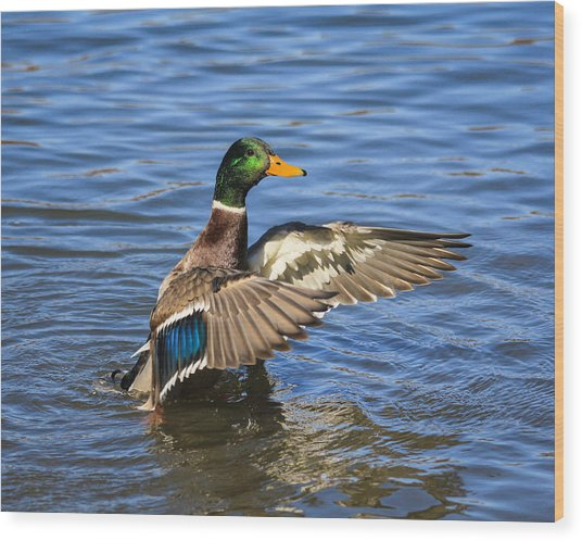 Mallard Drake In The Water Wood Print