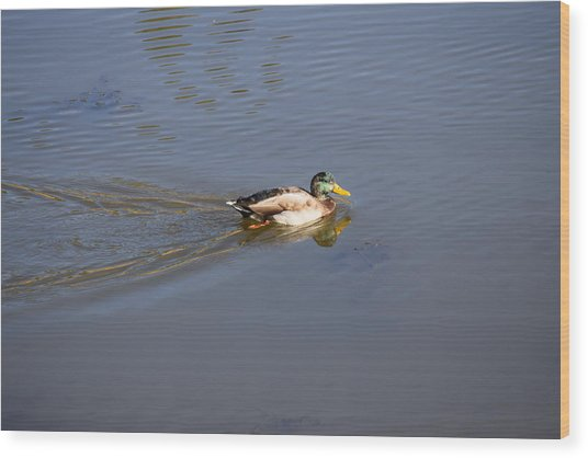 Mallard Duck Burgess Res Co Wood Print