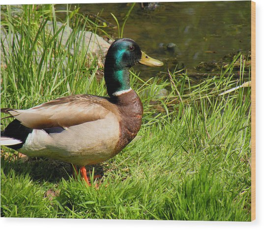 Mallard Duck Wood Print by Rosalie Scanlon