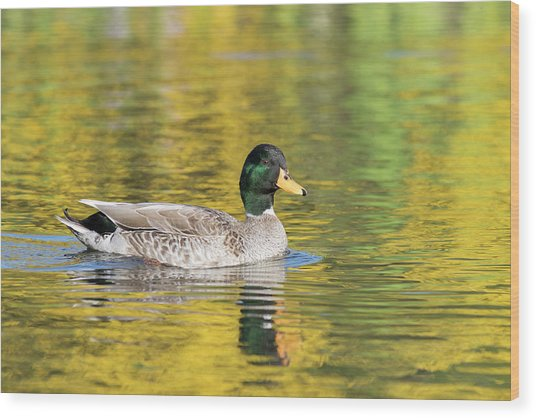 Wood Print featuring the photograph Mallard In Yellow by Karen Van Der Zijden