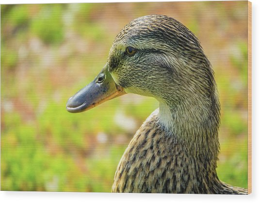 Mallard Portrait - Female Wood Print