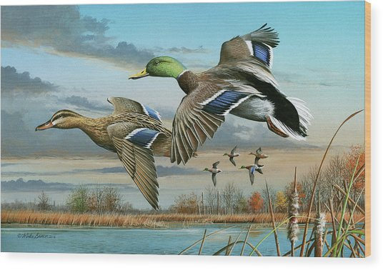 Mallards In Flight Wood Print