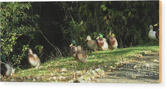 Mallards Walk Wood Print