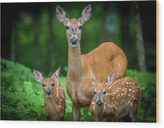 Mama And Fawns Wood Print