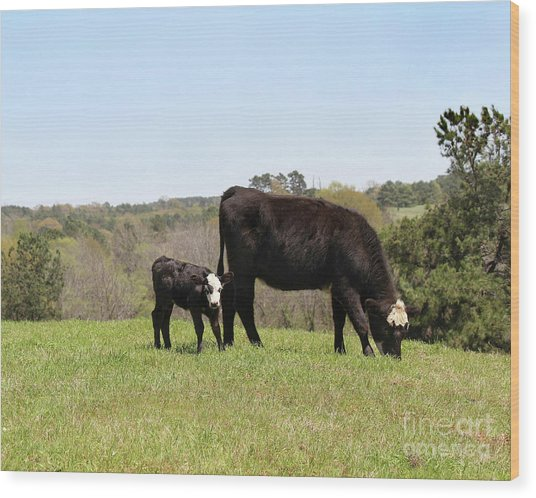 Mama Cow And Calf In Texas Pasture Wood Print