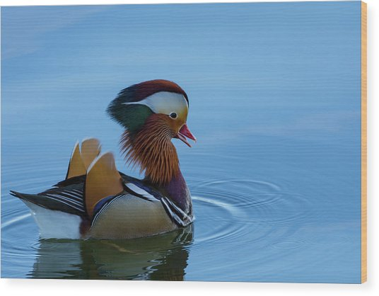 Majestic Mandarin Duck Wood Print