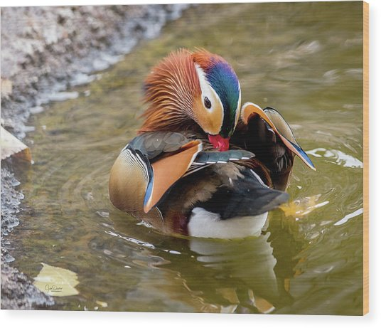 Mandarin Duck Preening Feathers Wood Print
