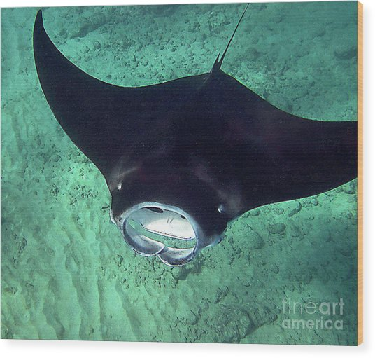 Manta Mouth Wood Print