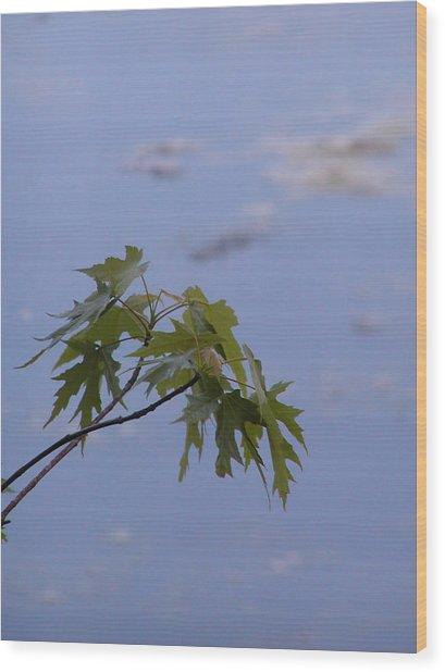 Maple Against Reflected Sky Wood Print by Randy Muir