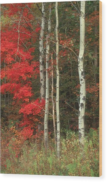Maple And The Birch Wood Print by Raju Alagawadi