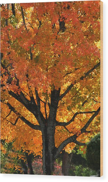 Maple Hill Maple In Autumn Wood Print