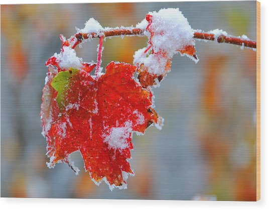 Maple Leaf With Snow Wood Print by Alan Lenk