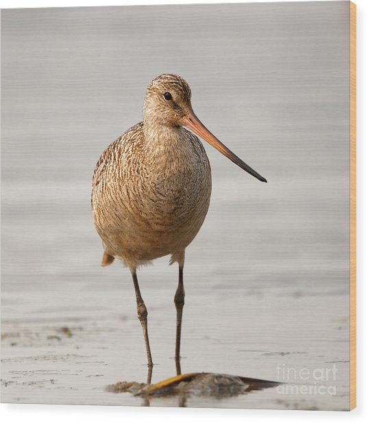 Marbled Godwit - Beauty Wood Print