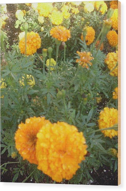 Marigold Light Wood Print by Warren Thompson