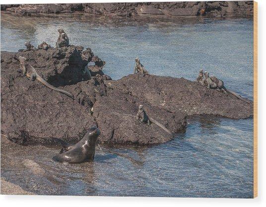 Marine Iguanas And Sealion Pup At Punta Espinoza Fernandina Island Galapagos Islands Wood Print