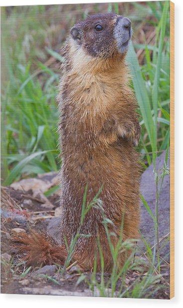 Marmot Love Wood Print by Naman Imagery