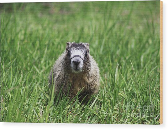 Marmot Pup Wood Print