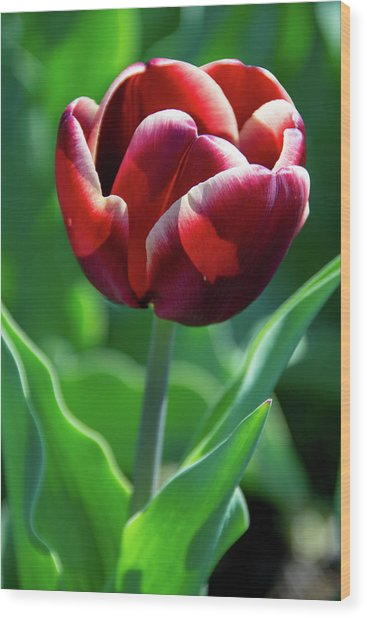 Maroon Tulip Wood Print