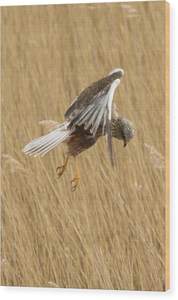 Marsh Harrier Hunting Wood Print