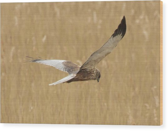 Marsh Harrier Quartering Wood Print