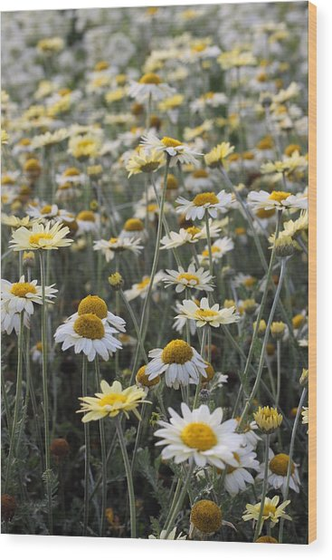 Mass Of Daisies Wood Print by Denice Breaux