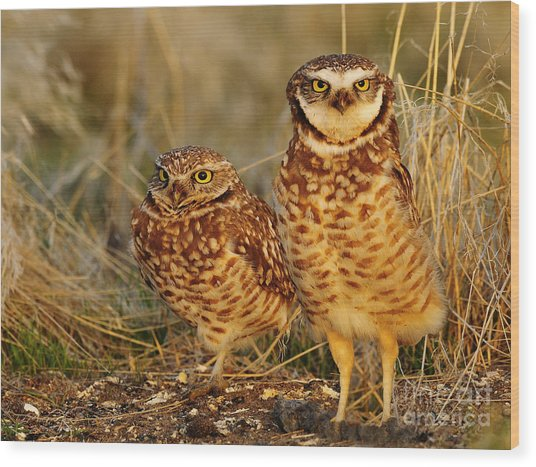Mating Pair Of Burrowing Owls Wood Print by Dennis Hammer