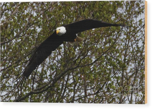 Mature Bald Eagle Wood Print